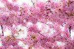 różowe kwiaty